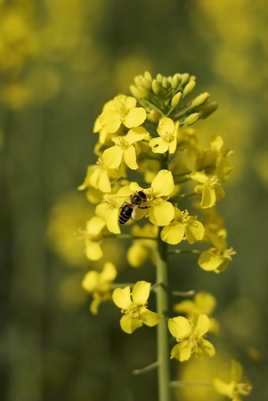 cultivable: Yellow colza and bee closeup Stock Photo