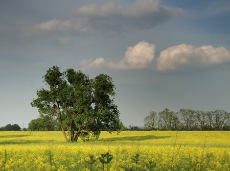 cultivable: Yellow colza field with tree and clouds