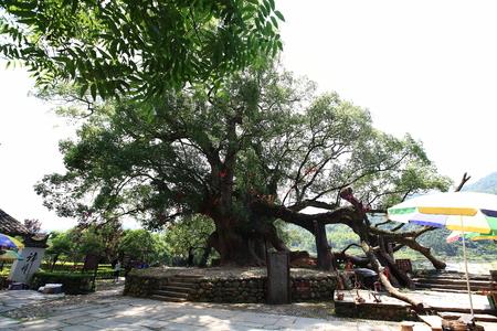 intangible: camphor tree Editorial