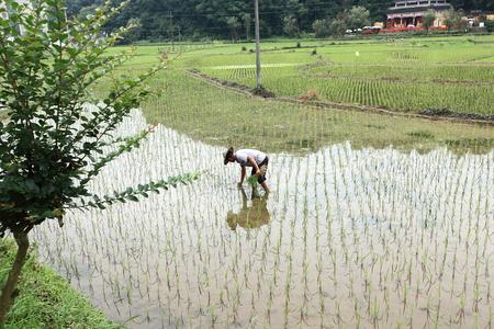 Paddy rice transplanter