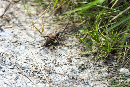 big insect chorhippus brunneus on path