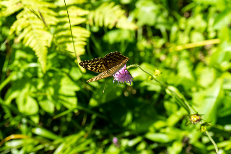 mating: brown butterfly on purple flower