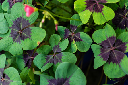 three leafed: green cloverleafs in garden sign of luck Stock Photo