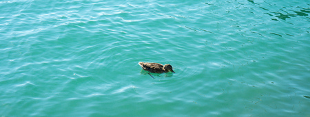duck in turquoise water pair swimming in lake Stock Photo