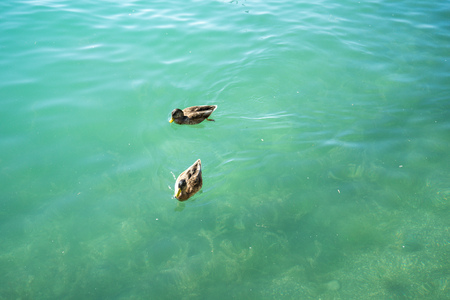 duck couple swimming in lake Stock Photo
