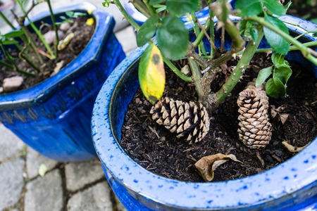 two pinecone laying in pot with plant