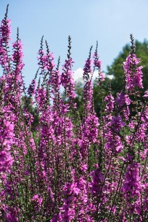 viola odarata violet flower blooming Stock Photo