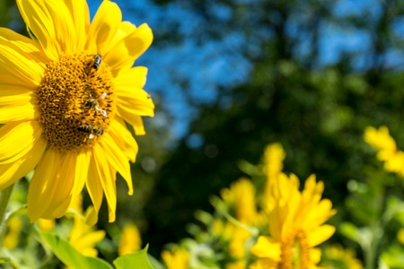 Sunflower and Bee with green tree and blue sky