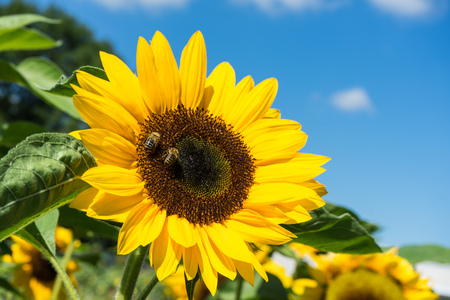 two bee sitting on sunflower with blue sky Stock Photo