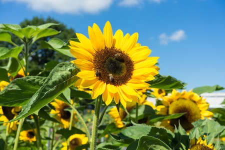 three bee sitting on sunflower with blue sky