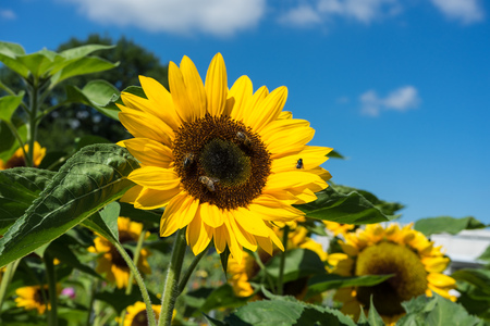 three bee and one fly sitting on sunflower Stock Photo