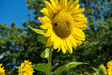 big bee on sunflower with tree and sky