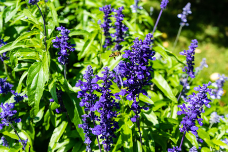 violet plant with bee flying on it blooming