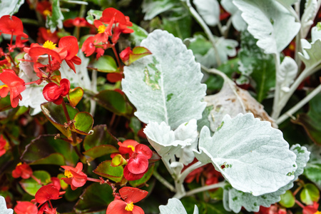 plant whit red flowers and white leaf