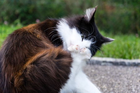 cat licking her feet paw outdoor brown white fur Stock Photo