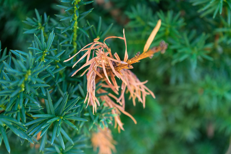 fir tree leaf with orange and green colour close up