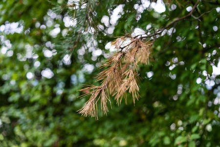 brown fir needle on tree with green background