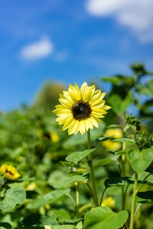 sunflower and bee on blue sky background in sunflower field Stock Photo