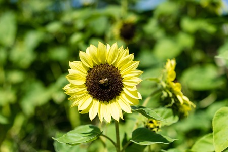 sunflower and bee in sunflower field Stock Photo