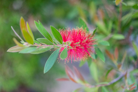 callistemon citrinus plant with green leaves and red flower