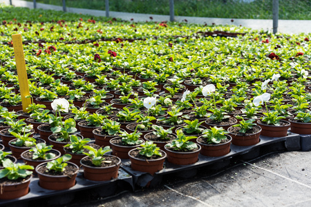 flowers in greenhouse industry horticulutre for selling in supermarkets