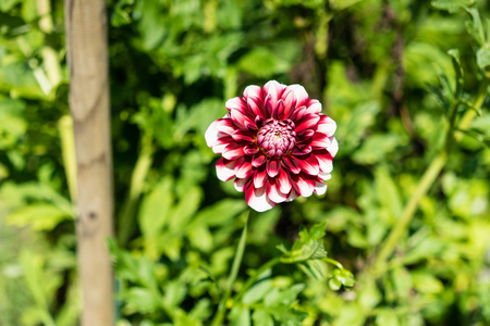 red white flower bud blooming in garden front view with plant green background Stock Photo