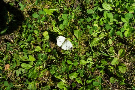 butterfly isolated: white butterfly sitting in meadow in summer close up view animal