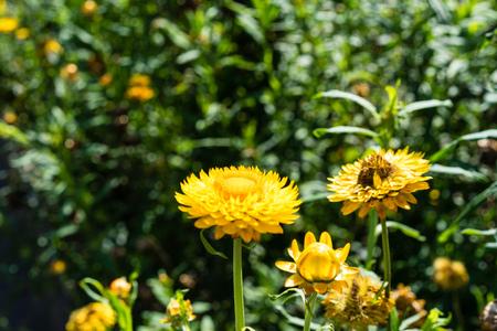 orange flowers blooming in garden many of them with green leaf Zdjęcie Seryjne