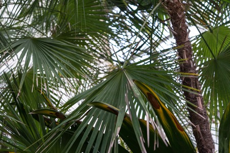 palm leaves from acoelorrapha arecaceae wrightii from south america