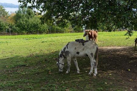 donkey eating apple under big tree on meadow in summer