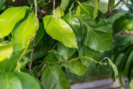 leaves close up of citrus limon plant Stock Photo
