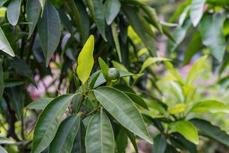 leaves of citrus reticulata mandarine plant tree
