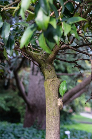 tree trunk with leaves of fortunella margarita rutaceae ovale kumquat from china