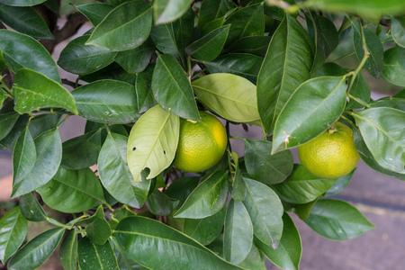 citrus sinensis plant tree leaves with ripe orange fruit hanging