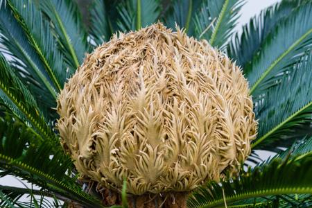 bud of cycas revoluta cycadaceae sago palm from south japan