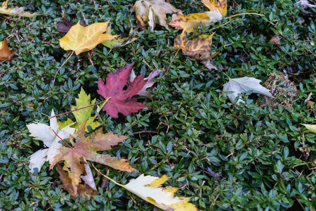 autumn leaves on green buch different colours red yellow