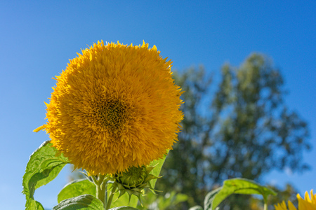 big sunflower bod side view with blue sky in summer Reklamní fotografie