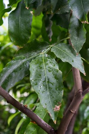 melicoccus bijugatus honeyfruit tree sapindaceae from sout america