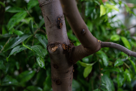 melicoccus bijugatus honeyfruit tree sapindaceae from sout america Stock Photo