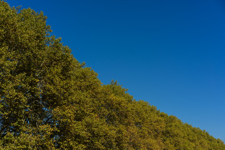 yellow tree line with clear blue sky Stock Photo