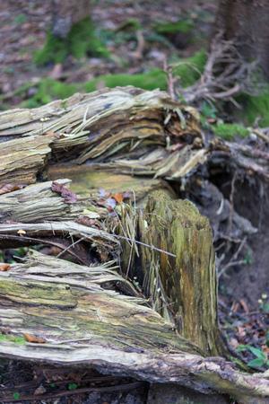 Storm damage: Broken tree in woods, autumn forest
