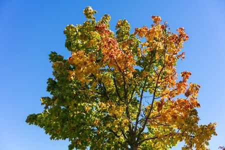 colofrul: tree with colofrul leaves in autumn with blue sky