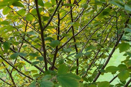 Leaves of Magic Nut Plant Hamamelis Hamamelidaceae Hybrid