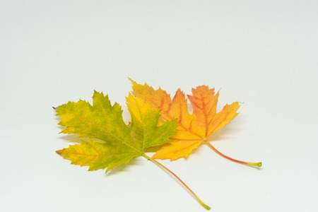 colorful yellow autumn maple leaf isolated on white background Stock Photo