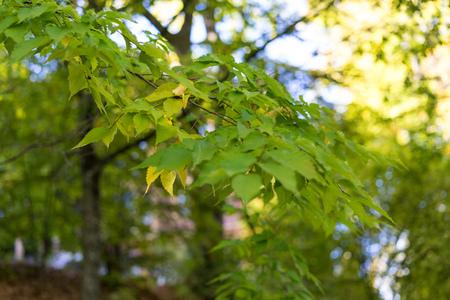 Leaves of japanese zelkova serrata in park with sun light Stock Photo