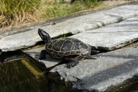 small black turtle sitting on concrete rock next to water pond
