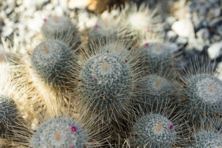 spiny: cactus mammilaria geminispina succulent in summer with shadow