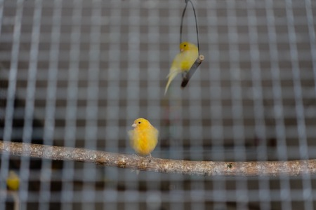 two yellow green canary birds behind iron cage pet