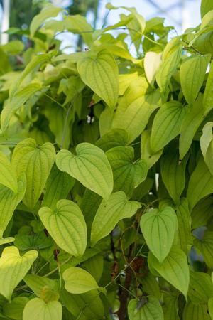 light green plant leaf of dioscorea basiclavicaulis background pattern Reklamní fotografie