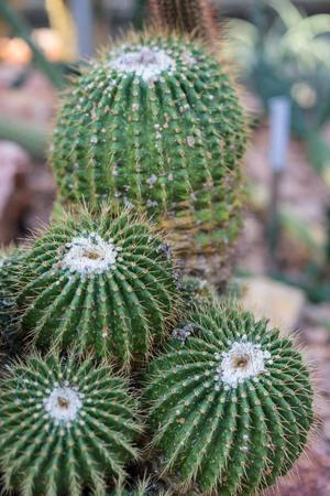 pardoria schumanniana single cactus with stones close up